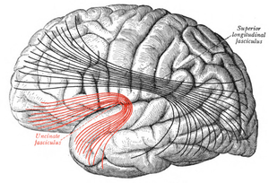 Uncinate fasciculus - Lateral surface of left cerebral hemisphere. Some of major association tracts are depicted. Uncinate fasciculus is at lower left, in red.
