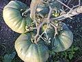 Solanales - Solanum lycopersicum - 1.jpg