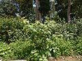 Solanum ¿ species ? (14576485541).jpg