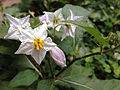 Solanum carolinense - Carolina Horsenettle.jpg