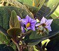 Solanum giganteum (26563405705).jpg