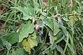 Solanum melongena 6.jpg