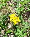 Solanum rostratum (Familyː Solanaceae) - Flowers.jpg