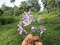 Solanum seaforthianum - Begur Butterfly Survey 01.jpg