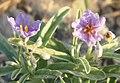 Solanum tumulicola flower.jpg