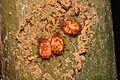 Some myrmecophilic larvae (17165925132).jpg