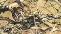 Song Sparrow (10421872473).jpg