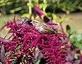 Song sparrow on amaranth in BBG (54965).jpg