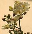 Sonjna (Moringa oleifera) flowers at Kolkata W IMG 2123.jpg