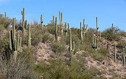 Cactus en el desierto de Sonora.