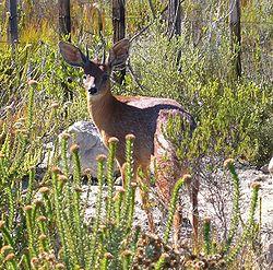 Southafrica-capegrysbok.jpg