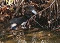 Southeastern river otter (6701323473).jpg