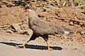 Southern Crested Caracara (Caracara plancus) (28210565393).jpg