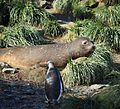 Southern Elephant Seal and Gentoo Penguin amid Tussock Grass (5894082634).jpg