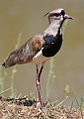 Southern Lapwing (Vanellus chilensis) (9610089782).jpg