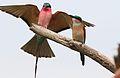 Southern carmine bee-eater, Merops nubicoides, Savuti marsh, Chobe National Park, Botswana (32462175975).jpg
