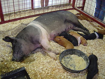 English: A sow and her piglets at the State Fa...