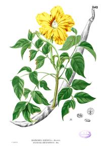 Spathodea sp Blanco2.242