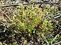 Spergularia marina sl45.jpg