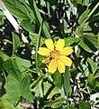 Sphagneticola trilobata (Asteraceae) 09.jpg