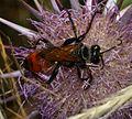 Sphex flavipennis 1.jpg