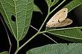 Spilarctia tienmushana werneri (25679966174).jpg
