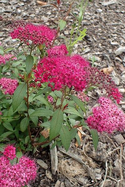 File:Spiraea japonica 'Anthony Waterer' kz2.jpg