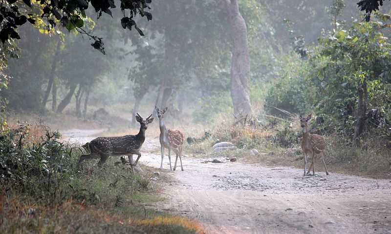 ચિત્ર:Spotted deers in Jim Corbett National Park.JPG
