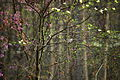 Spring-love-birds-in-a-tree-with-flowers - West Virginia - ForestWander.jpg