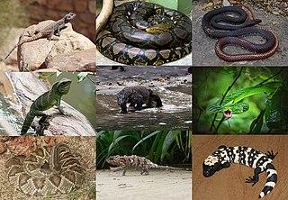 Squamata Order of reptiles