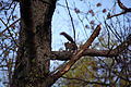 Squirrel-barking-at-me-in-a-tree - West Virginia - ForestWander.jpg