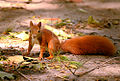 Squirrel (20144365861).jpg