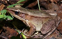 Sreeni's Golden-backed frog (Hylarana sreeni).jpg