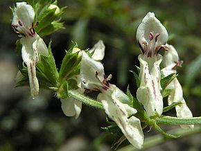une plante Martin 18 janvier trouvée par Ajonc 290px-Stachys_recta03