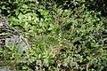 Standort des Rundblättrigen Wintergrüns (Pyrola rotundifolia).jpg