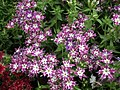 Star Phlox from Lalbagh flower show Aug 2013 8181.JPG