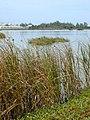 Starr-010209-0276-Bolboschoenus maritimus-habit-Kanaha pond-Maui (23904350783).jpg