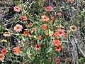 Starr-030424-0095-Zinnia peruviana-flowers-Puu o Kali-Maui (24605211046).jpg