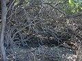 Starr-031005-0048-Schinus terebinthifolius-habit-Kawililipoa-Maui (24044822894).jpg