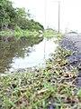 Starr-040323-0020-Cynodon dactylon-flooded-Kanaha Beach-Maui (24699070925).jpg