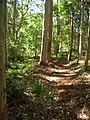 Starr-060625-8193-Cordyline fruticosa-trail-Makawao Forest Reserve-Maui (24745588412).jpg