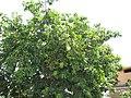 Starr-090720-3043-Annona muricata-fruiting habit-Waiehu-Maui (24852159672).jpg