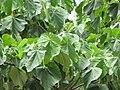 Starr-090720-3131-Ochroma pyramidale-leaves-Tropical Gardens of Maui Iao Valley Rd-Maui (24852304492).jpg