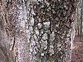 Starr-090804-3699-Acacia melanoxylon-trunk and bark-MISC HQ Piiholo-Maui (24877836081).jpg