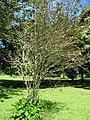 Starr-091104-0809-Lagerstroemia sp-cv Natchez habit-Kahanu Gardens NTBG Kaeleku Hana-Maui (24357040104).jpg