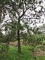 Starr-110307-2408-Pinus elliottii-habit-Kula Botanical Garden-Maui (24710374789).jpg