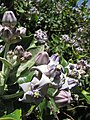 Starr-120513-5865-Calotropis gigantea-flowers-Waihee Coastal Preserve-Maui (24847034070).jpg