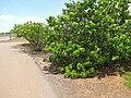 Starr-130617-5095-Thespesia populnea-habit along road-Kealia Pond NWR-Maui (25186074426).jpg