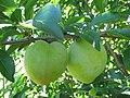 Starr-130809-2927-Prunus domestica-Cv Beauty immature fruit-Kula-Maui (25259721355).jpg