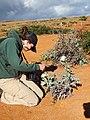 Starr-141218-3128-Argemone glauca-flowering habit with Lily-K2 Kanapou-Kahoolawe (24882059169).jpg